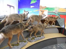 Museo del lupo.23